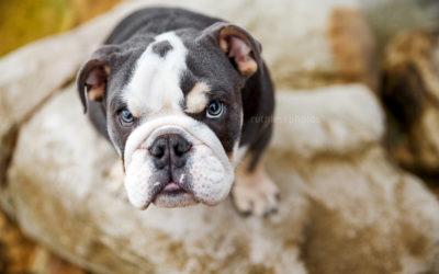 Hugo the Bulldog – Sydney Puppy Photos