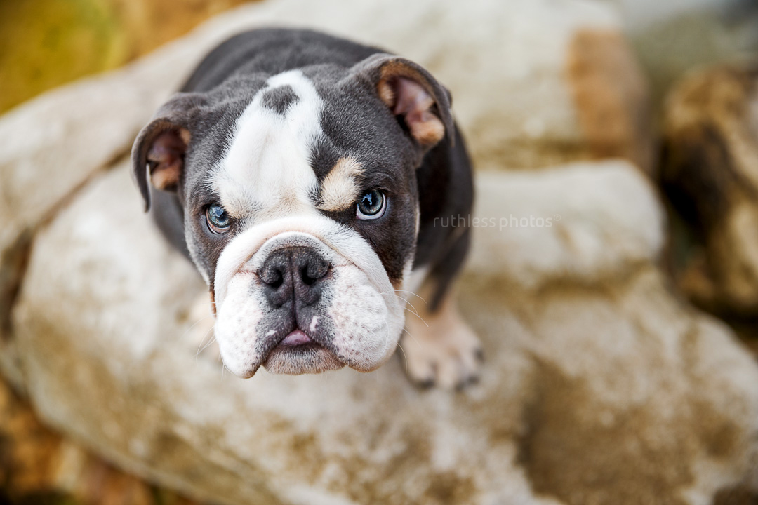 tricolour exotic british bulldog puppy sitting on rocks looking up with an angry cranky face
