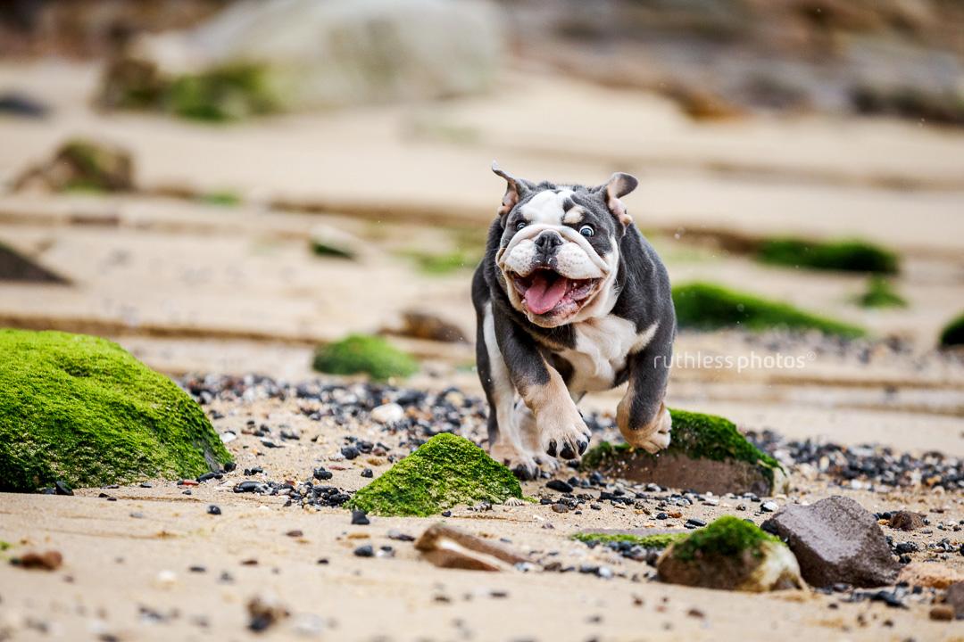 tricolour exotic british bulldog puppy running on beach