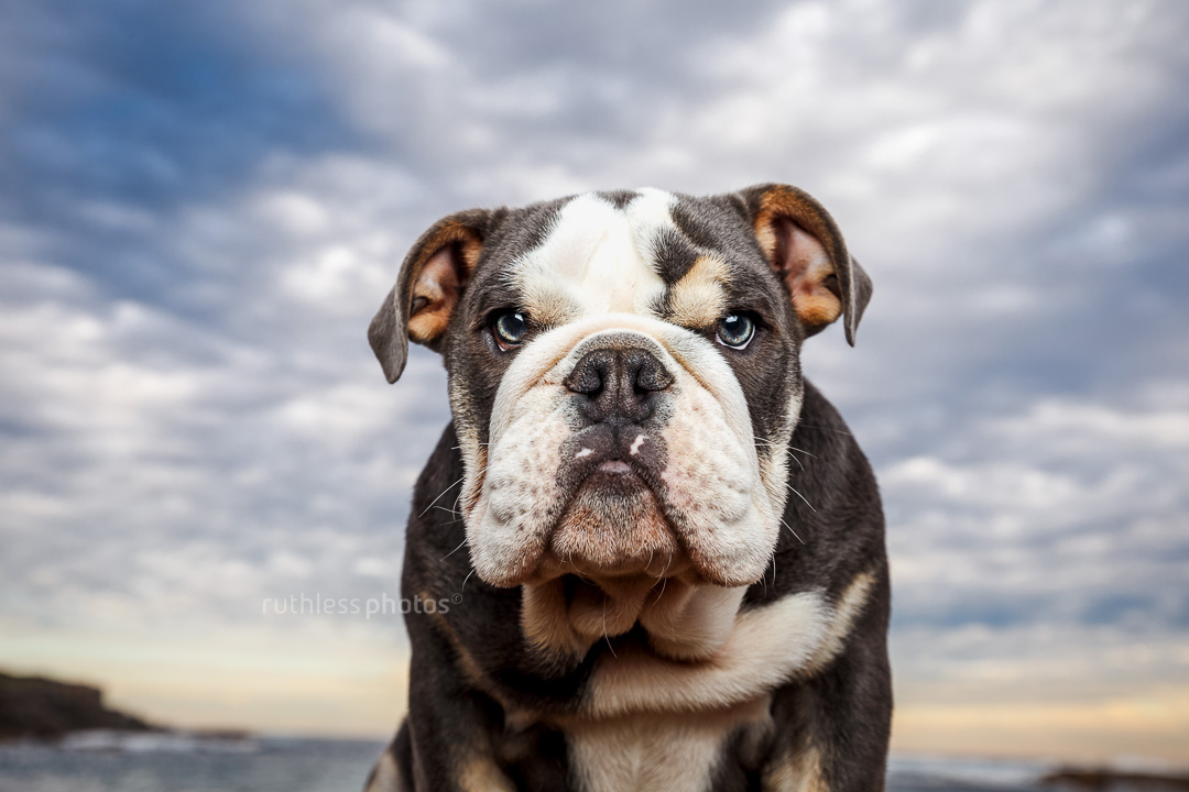 cranky tricolour exotic british bulldog puppy sitting on rocks with big sky