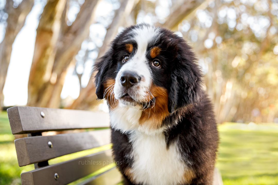 bernese mountain dog puppy standing on bench at park with head tilt