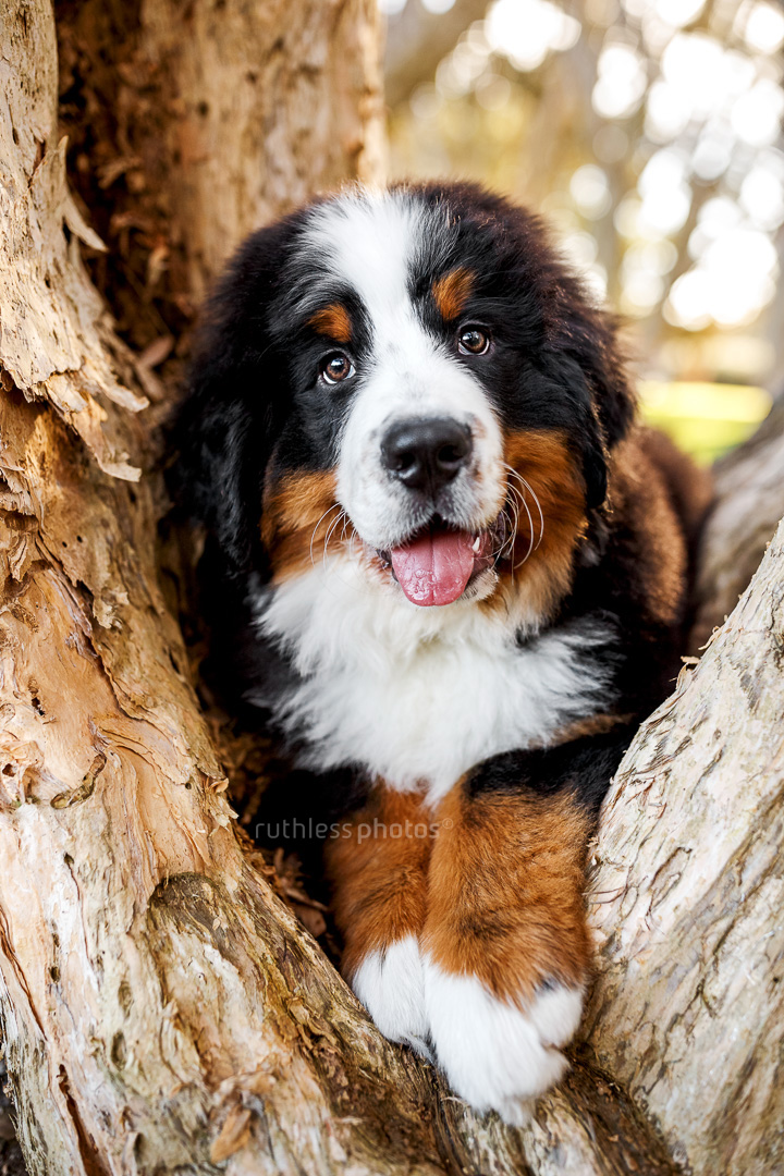 bernese mountain dog puppy lying in the crook of a paperbark tree
