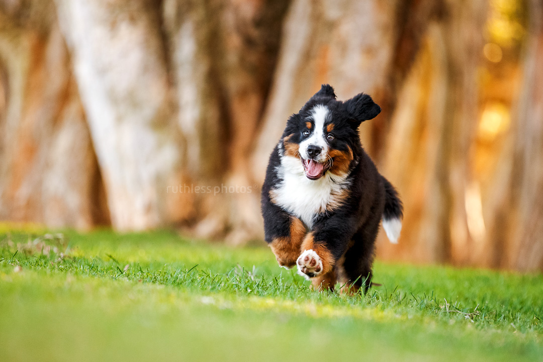 bernese mountain dog puppy running through paperback trees on grass at park