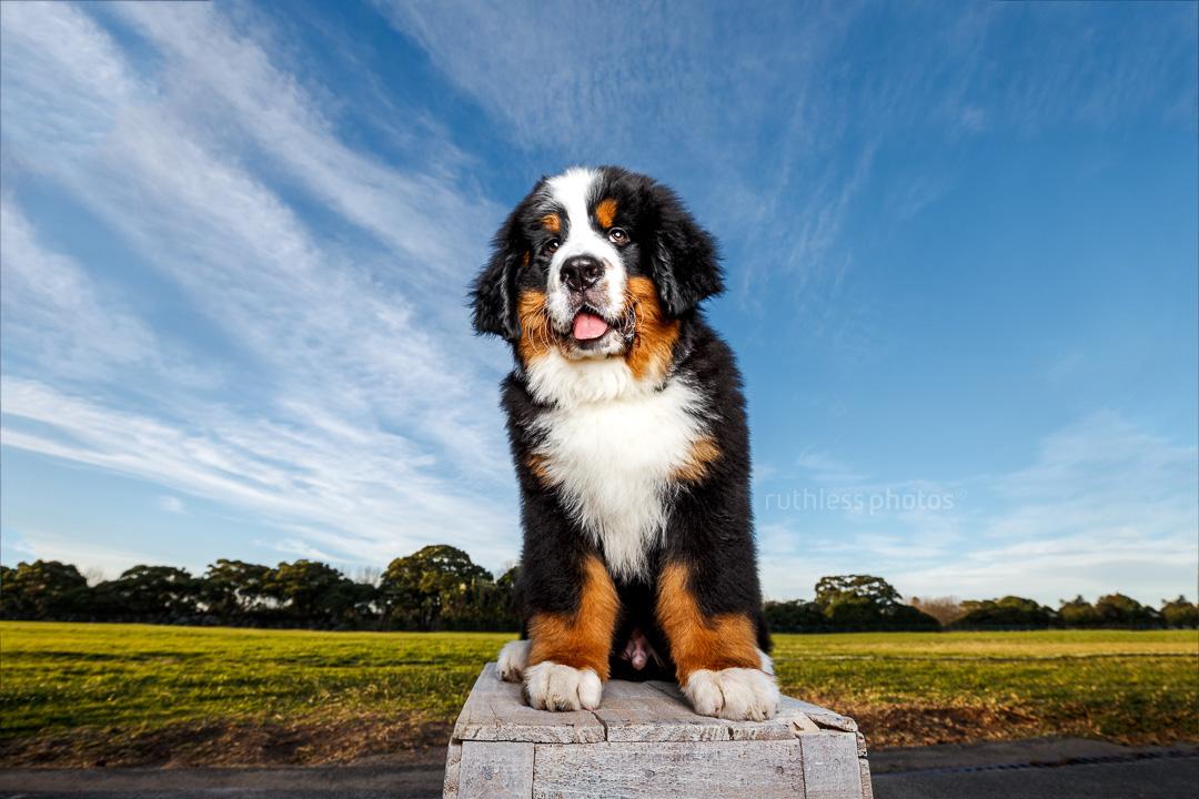 bernese mountain dog puppy sitting on wooden box