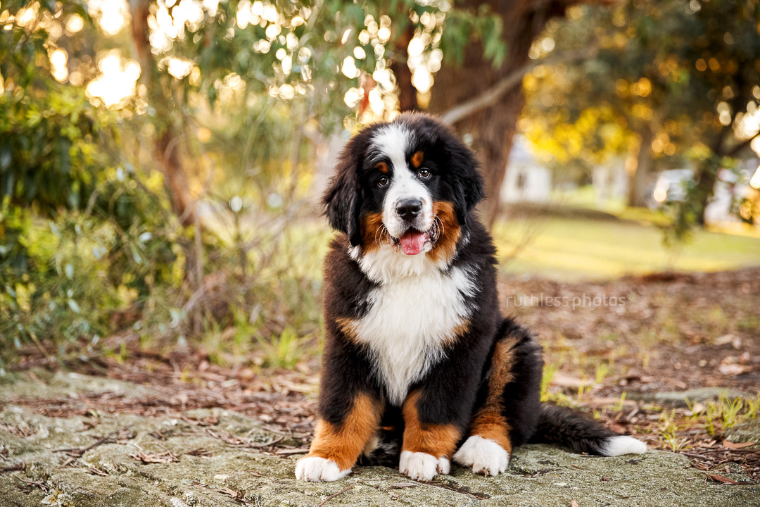 bernese mountain dog puppy sitting on rock at park