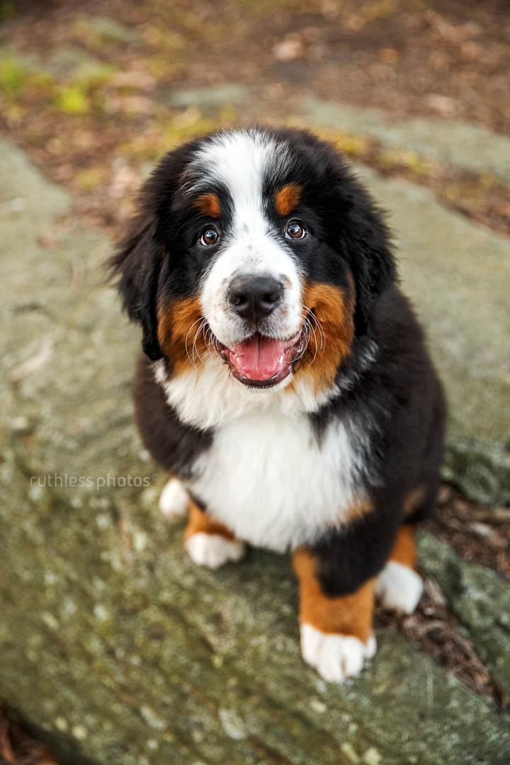happy smiling bernese mountain dog puppy