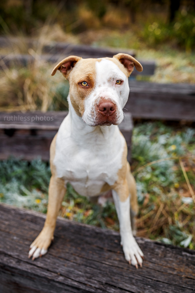 rescued blockhead pit bull type red nose dog standing with front feet on wooden beam