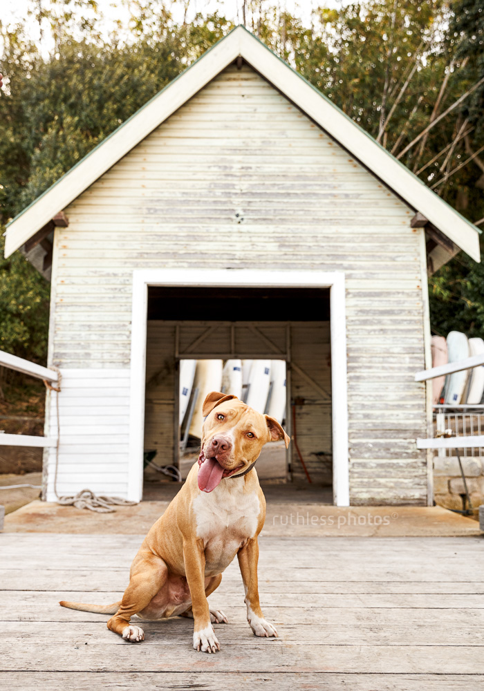 red nose pit bull type dog sitting in front of boatshed with derp face