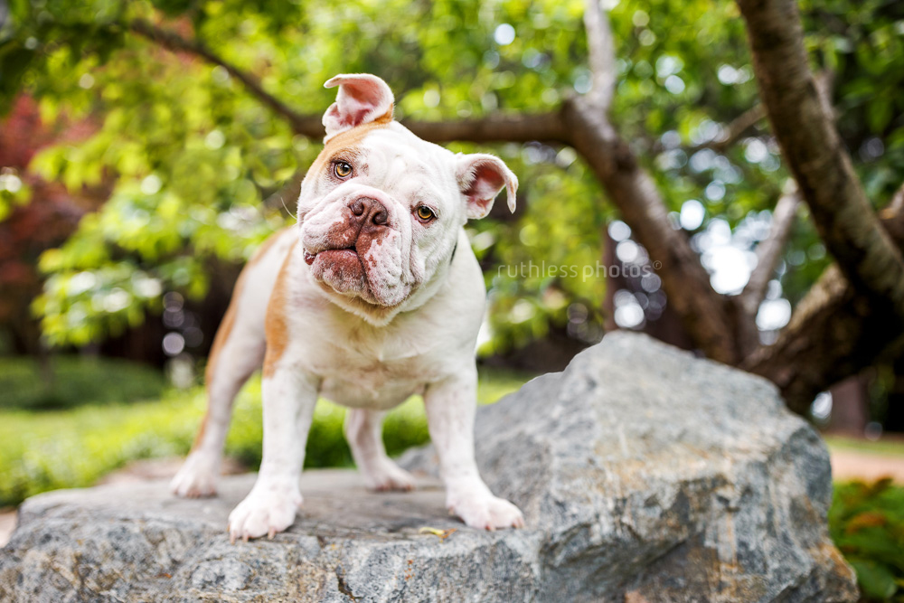 british bulldog standing on rock in canberra park beside lake burleigh griffin looking at camera with head tilt