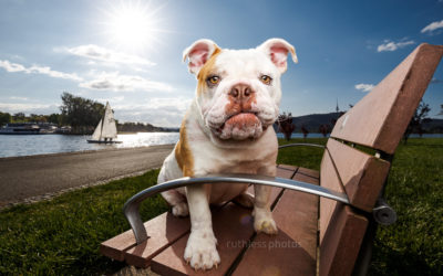 Holly the Bulldog – Dogs of Canberra
