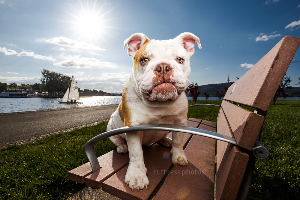 british bulldog sitting on bench in canberra park beside lake burleigh griffin looking at camera with sail boat in the background
