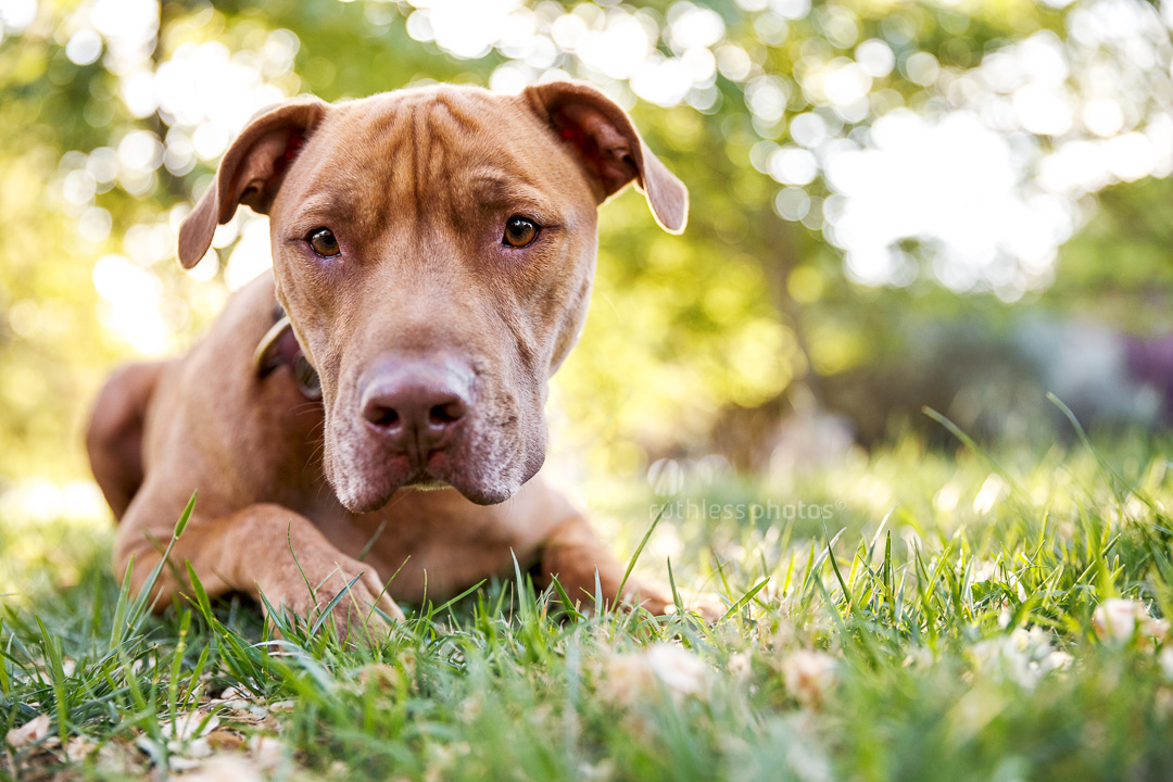 red nose brindle pit bull type dog lying on grass looking sad