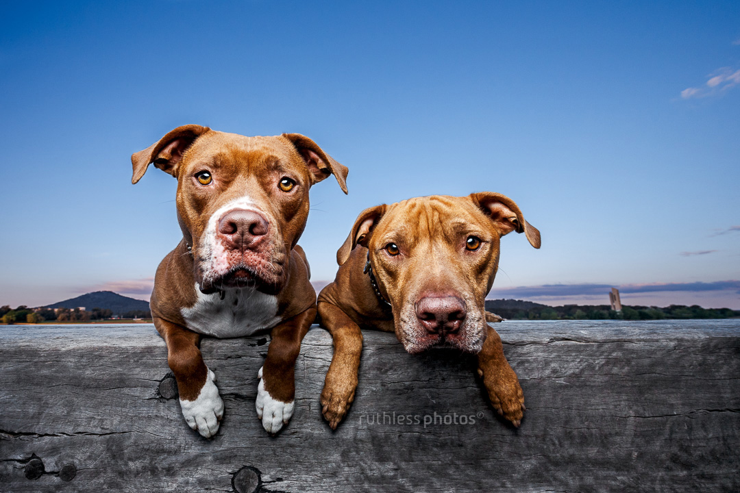 two red nose pit bull type dogs lying on wooden sleeper at lake in canberra