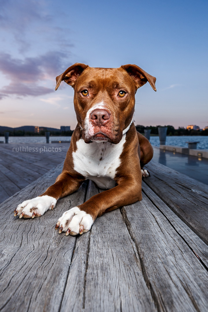 gorgeous red nose chocolate pit bull type rescue dog on wooden deck at sunset