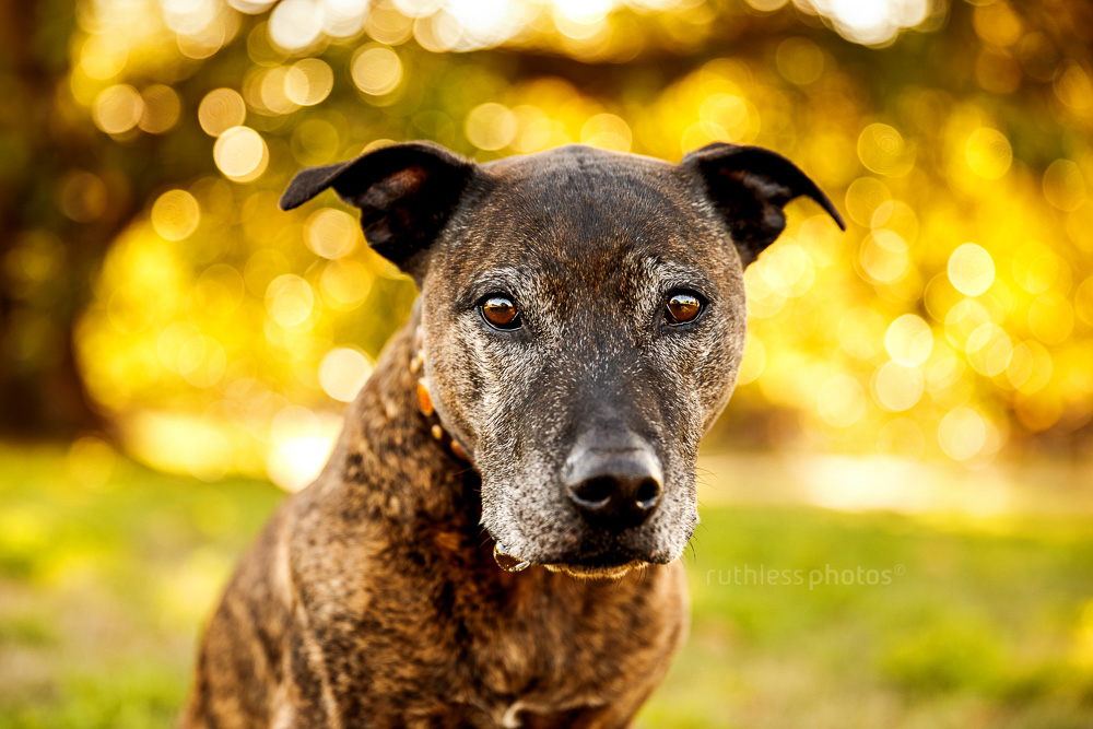 senior brindle pit type staffy mix dog with grey face and spit bubble