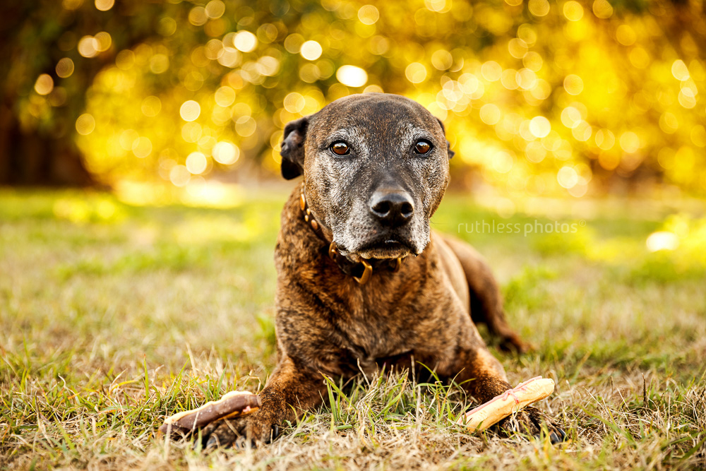 senior brindle pit type staffy mix dog with grey face with a biscuit on each paw