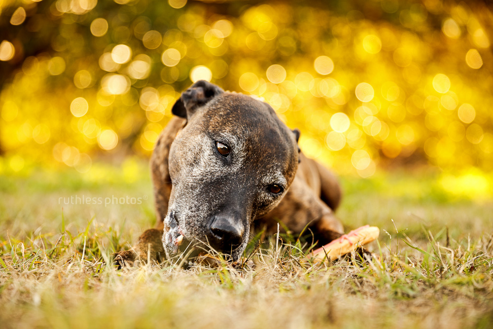 senior brindle pit type staffy mix dog with grey face lying on ground eating biscuits