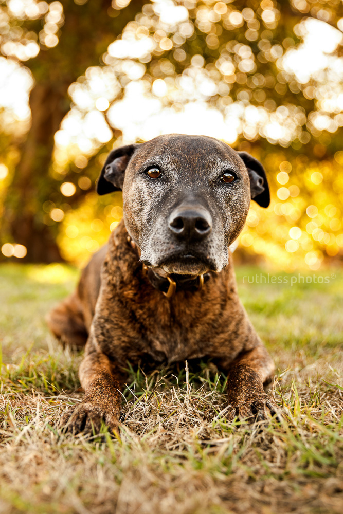 senior brindle pit type staffy mix dog with grey face with begging eyes