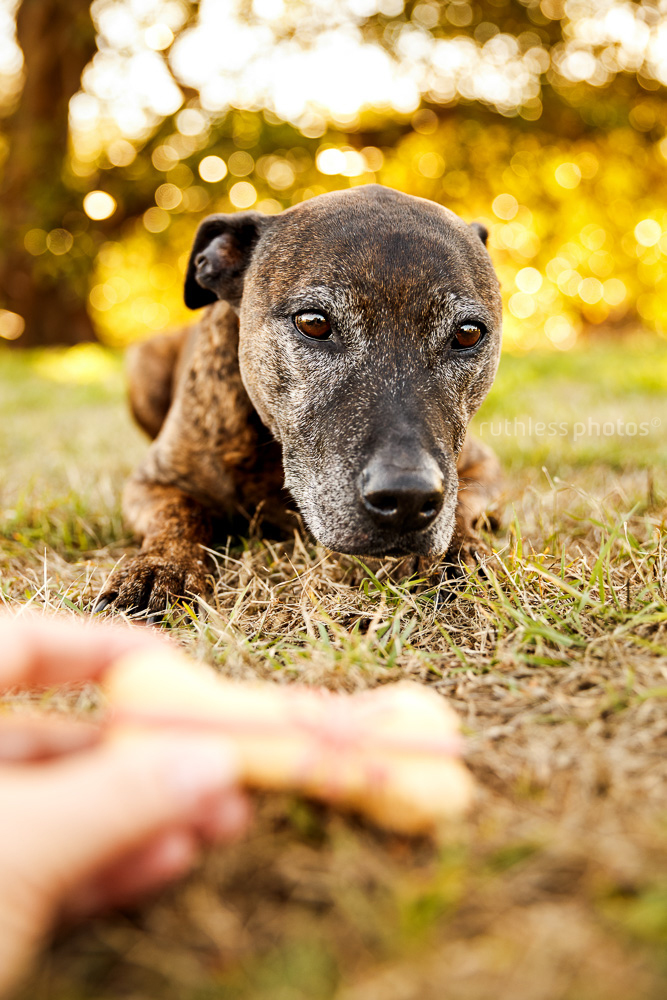 senior brindle pit type staffy mix dog with grey face looking longingly at biscuit