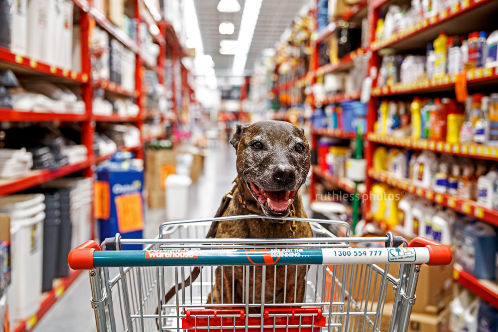 senior brindle pit type staffy mix dog with grey face sitting in a trolley at bunnings warehouse