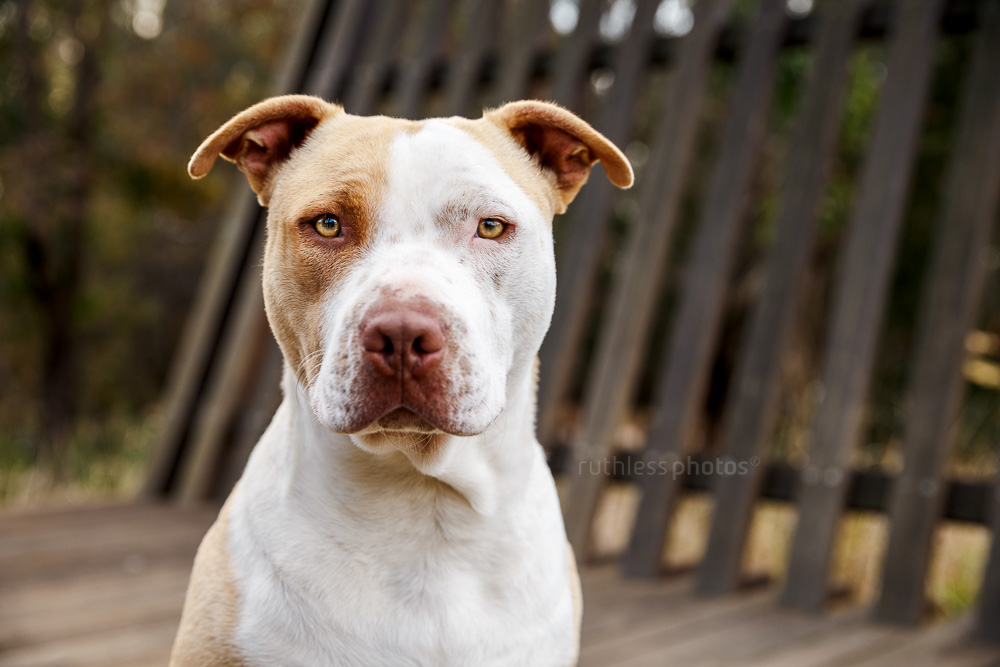 rescued blockhead pit bull type red nose dog sitting on wooden platform