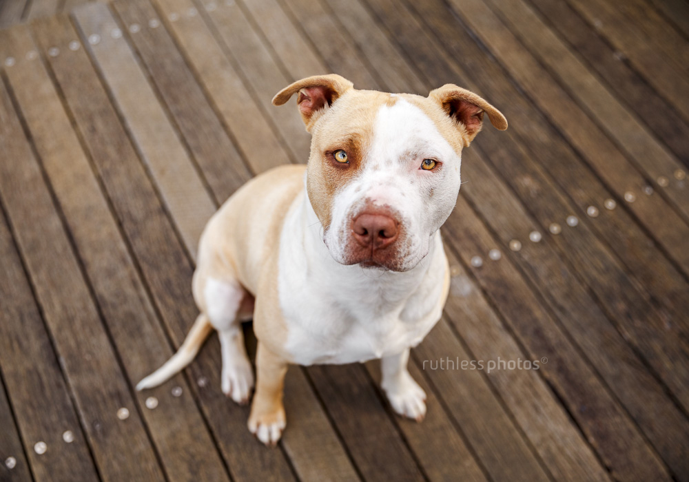 rescued blockhead pit bull type red nose dog sitting on wooden platform looking up at camera