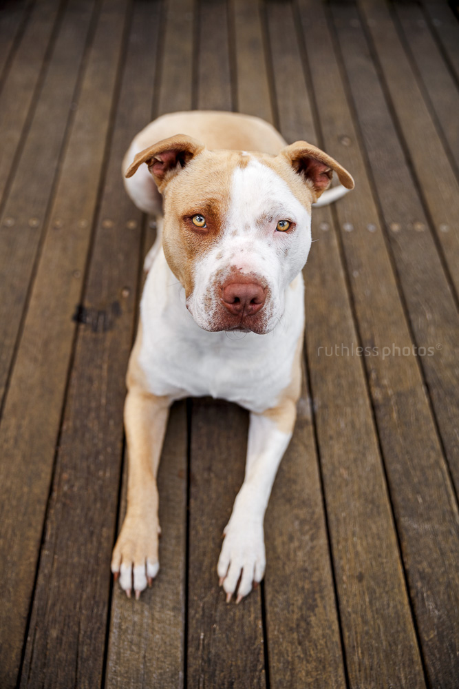 rescued blockhead pit bull type red nose dog lying on wooden platform looking up at camera