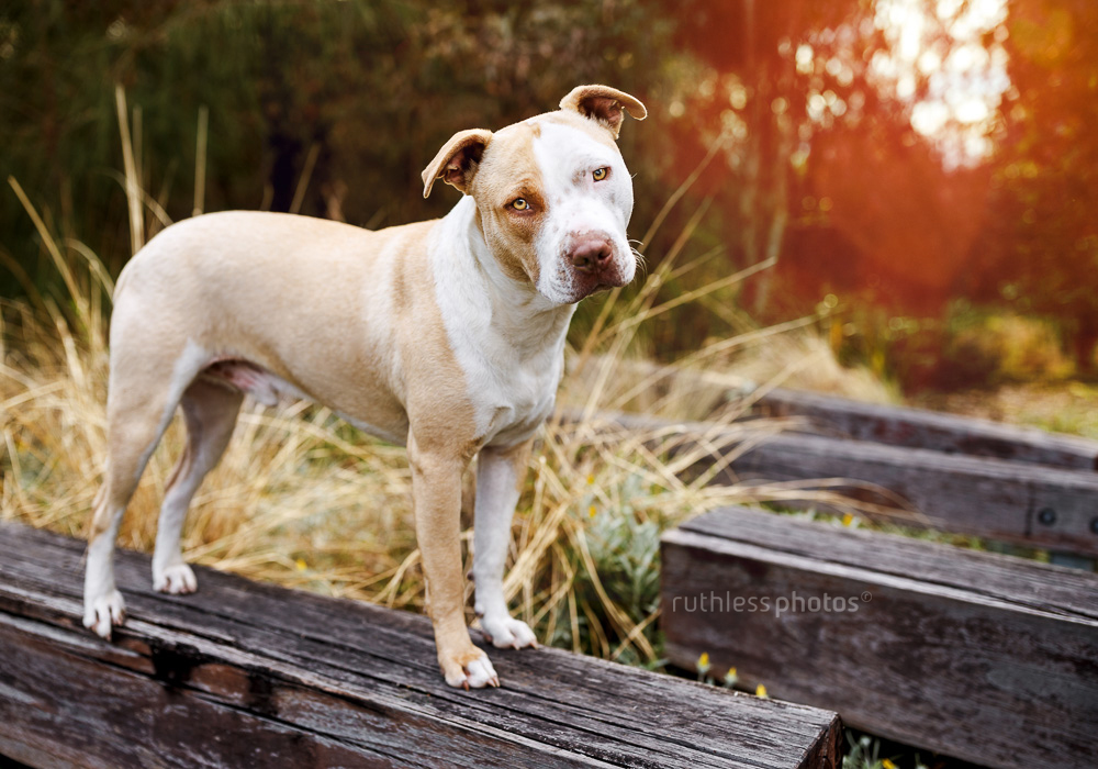 rescued blockhead pit bull type red nose dog standing on wooden beam