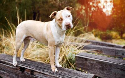 Koda the Blockhead – Dog Photos Sydney