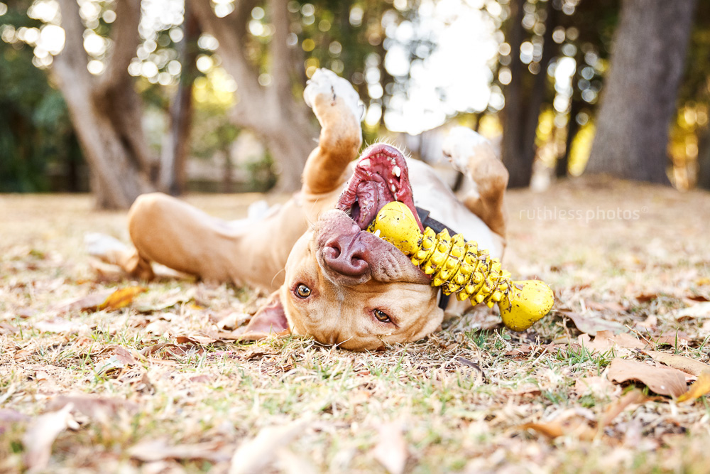 red nose pit bull type dog playing with yellow rubber bone toy on his back in the park