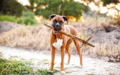 Chloe the Boxer | Sydney Dog Photographer