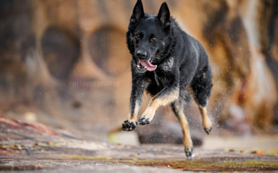 Sasha the German Shepherd | Sydney Dog Photographer