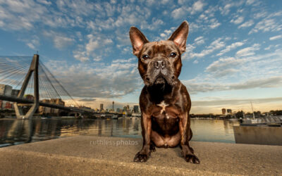 Churros the Frenchie mix – Dogs of Sydney