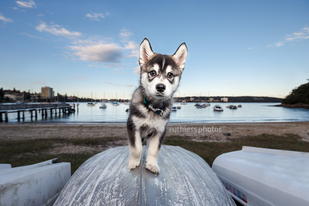 snow dog louis the wolf puppy standing on boat at sunset