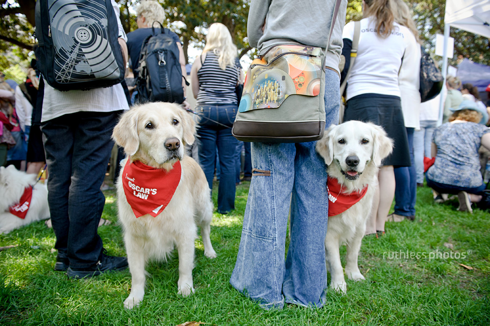 two golden retrievers standing with owners at event wearing red bandanas