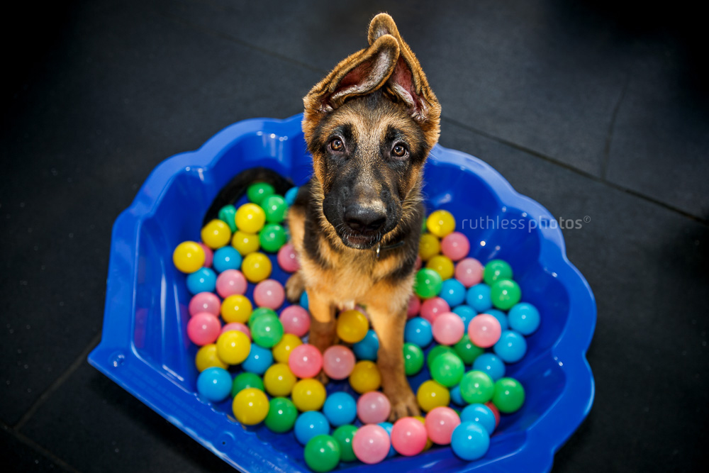 sydney-canberra-puppy-school-german-shepherd-ball-pit