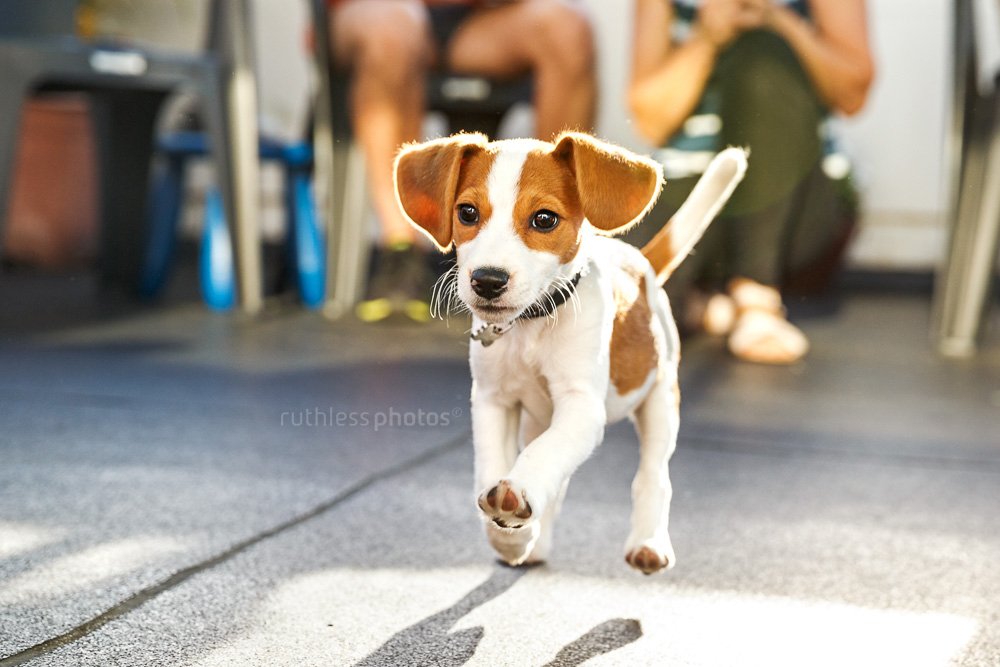jack russel beagle mix doing a recall at sydney puppy school