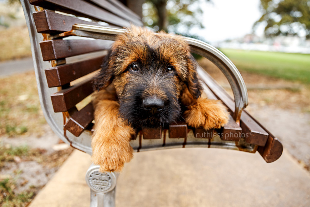 briard puppy lying on park bench