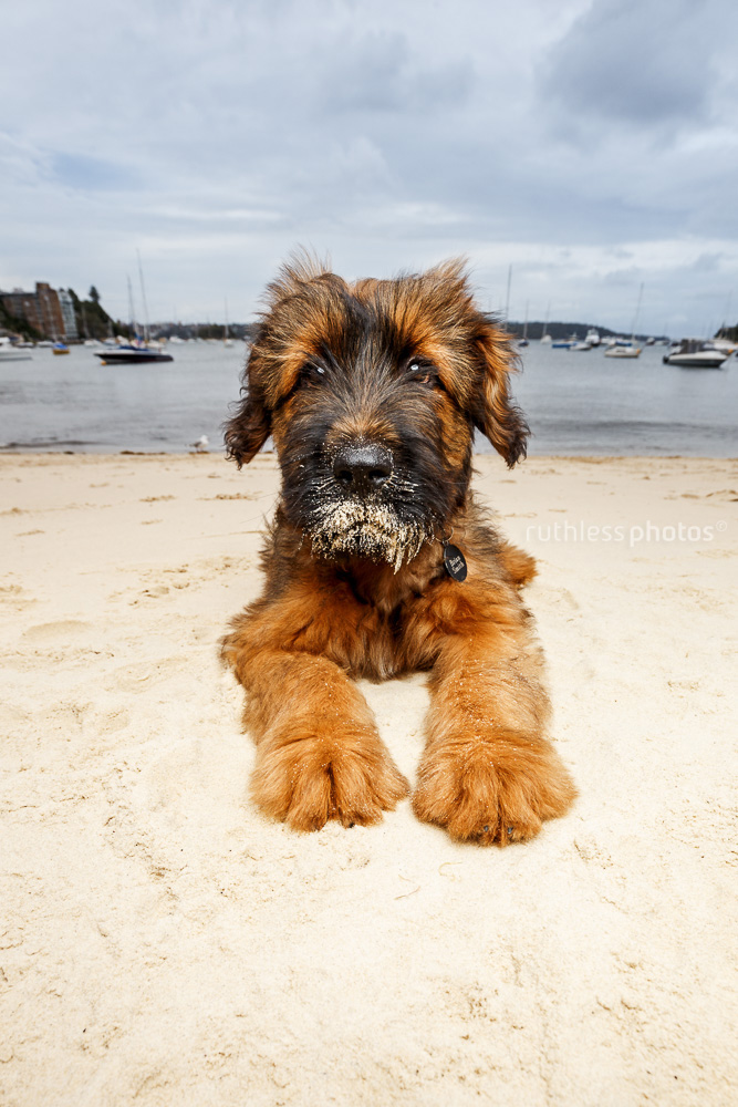 briard puppy lying on beach with sandy face