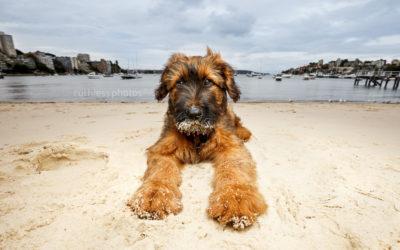 Brian the Briard – Sydney Puppy Photos