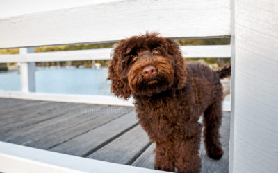 Dexter the Labradoodle – Northern Beaches Puppy