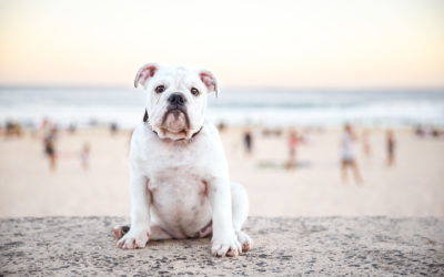 Happy Bulldogs are Beautiful Day 2018 – video