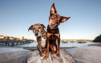 Gina & Thomas – three-legged dogs of sydney