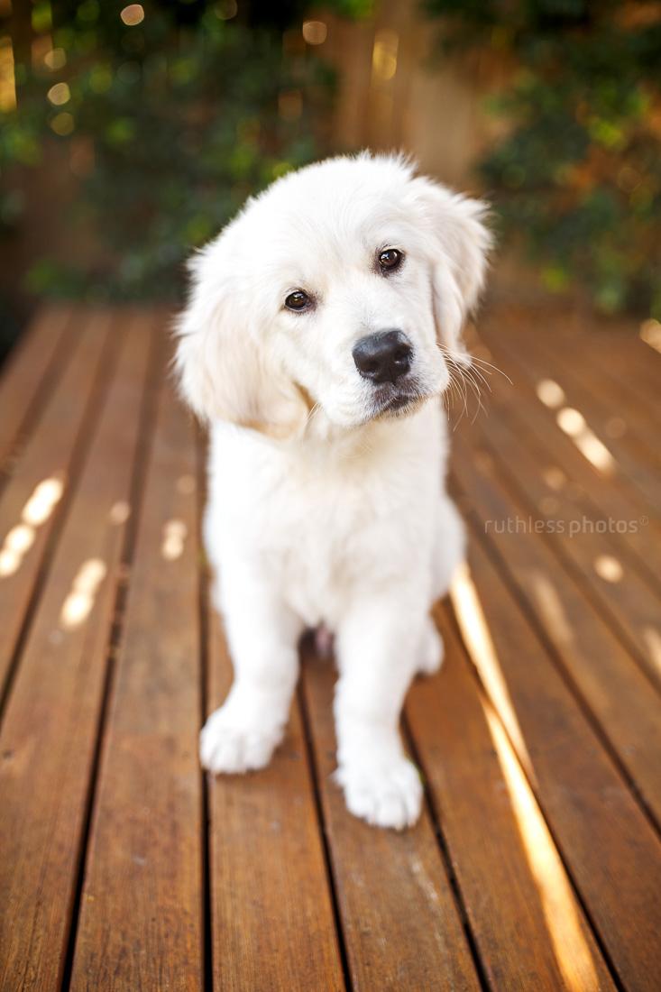 golden retriever puppy sitting on wooden deck with head tilt and bokeh