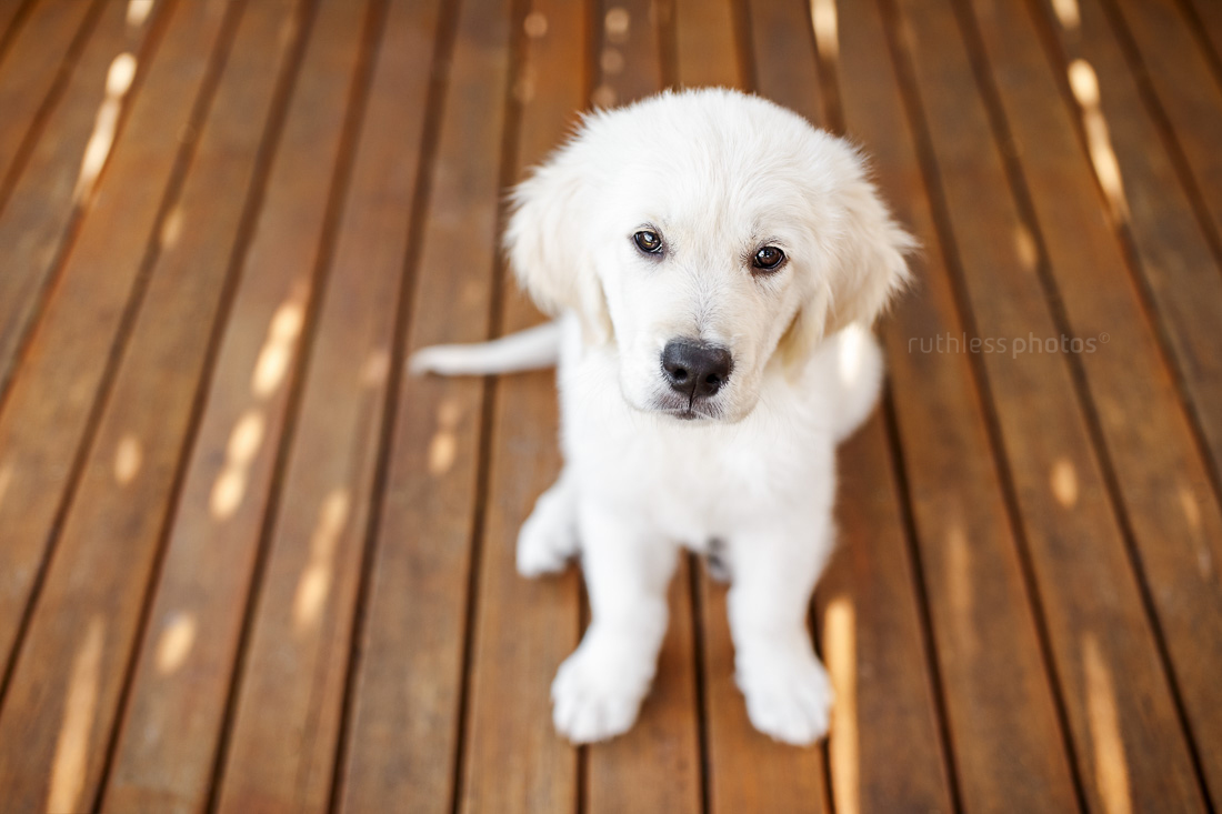 golden retriever puppy sitting on wooden deck