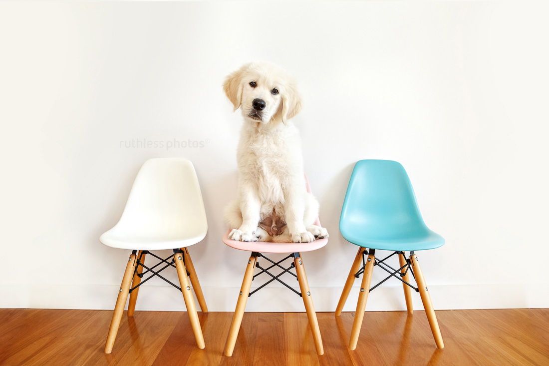 golden retriever puppy sitting on middle chair of three pastel coloured chairs