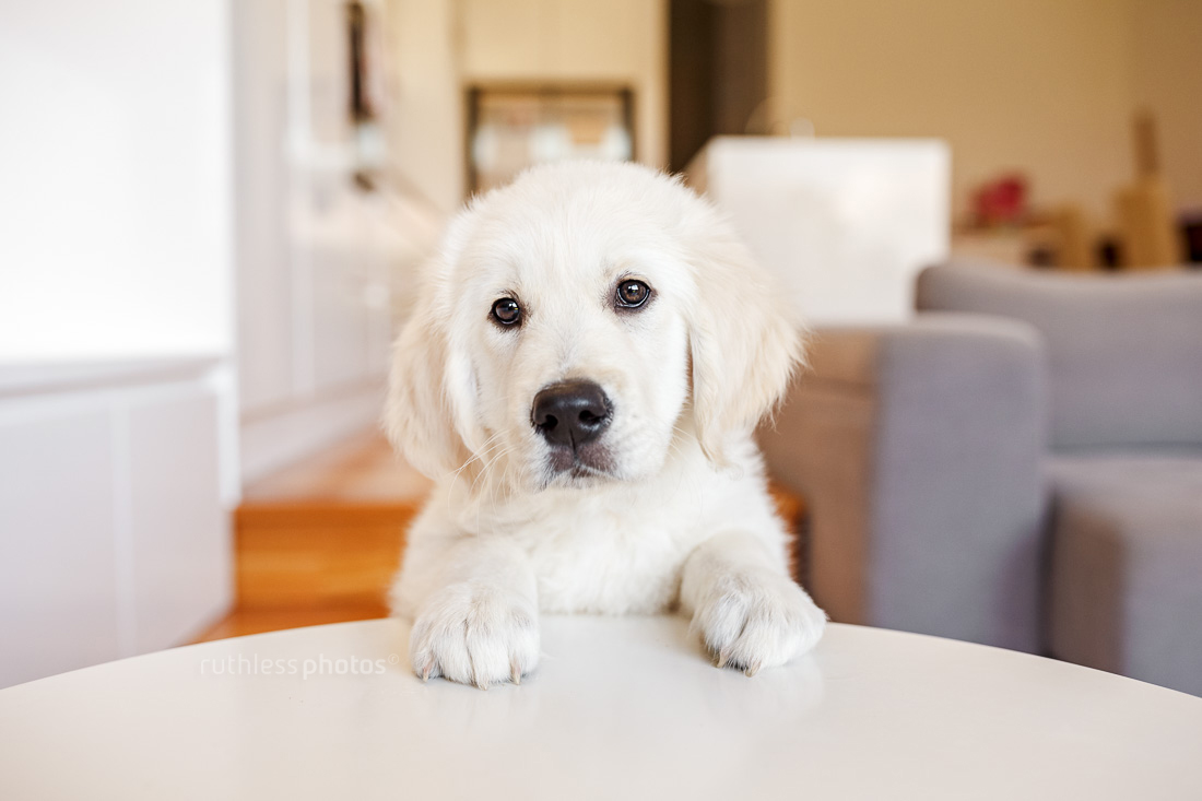 golden retriever puppy with front paws on white table