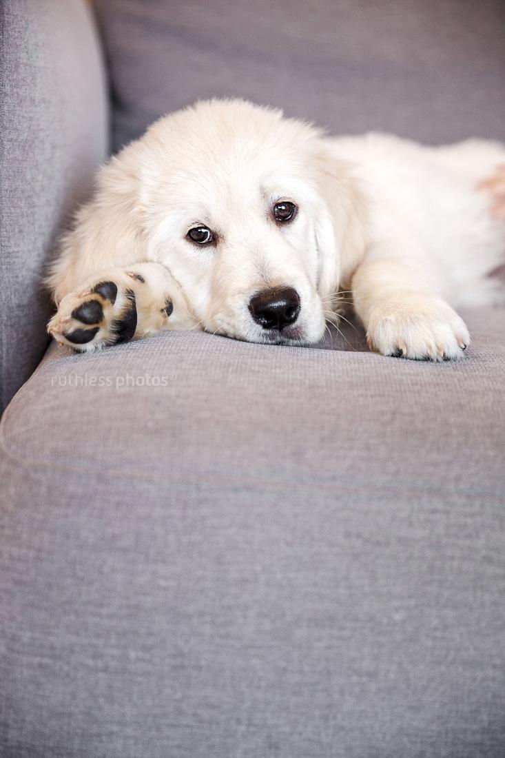 golden retriever puppy lying on grey fabric sofa looking sad