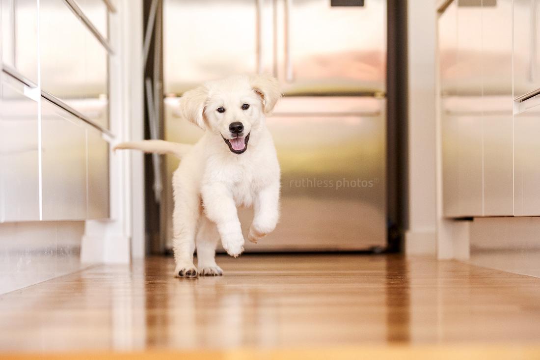 happy golden retriever puppy running through kitchen with wooden floor