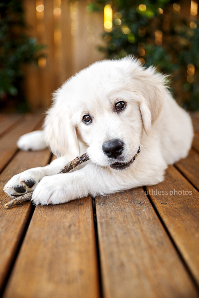golden retriever puppy lying on wooden deck chewing on a stick